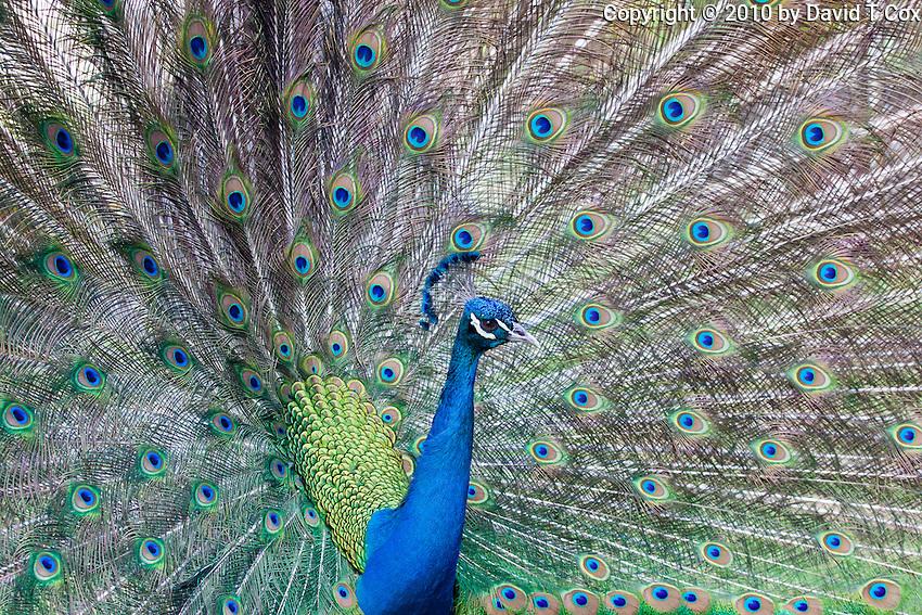 Peacock, El Remate, Peten, Guatemala