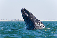 Sub-adult California Gray whale (Eschrichtius robustus) breaching in San Ignacio Lagoon on the Pacific Ocean side of the Baja Peninsula, Baja California Sur, Mexico. Each winter thousands of California gray whales migrate from the Bering and Chukchi seas to breed and calf in the warm water lagoons of Baja California. San Ignacio lagoon is the smallest of the three major such lagoons. Current (2008) population estimates put the California Gray whla at between 20,000 and 24,000 animals.