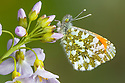 Orange Tip Butterfly (Anthocharis cardamines) male resting on Cuckoo Flower / Lady's Smock {Cardamine pratensis}. Peak DIstrict National Park, Derbyshire, UK. April.
