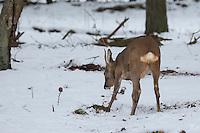 Europäisches Reh im Schnee, scharrt im Wald, Winter, Rehwild, Reh-Wild, Bock, Rehbock, Männchen, Capreolus capreolus, roe deer, snow
