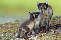 Arctic fox (Vulpes lagopus), adult with young, Svalbard, Norway, Arctic