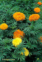HS14-024c  Marigold - Climax hybrid - Tagetes spp.