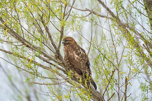 Juvenile Red-tailed Hawk (Buteo jamaicensis).  California.  Spring.