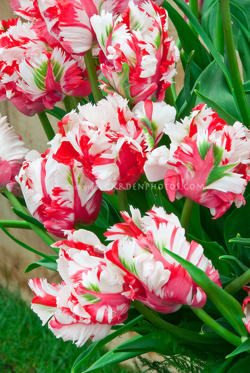 Red, white, green Parrot Tulip Estella Rynveld aka Rijnveld in Christmas holiday colors for greeting card