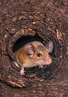 Egyptian Spiny Mouse (Acomys cahirinus) peeks out of hole. Native to North Africa and the Middle East.