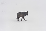 Lone wolf from the Druid pack walks through the snow in Yellowstone National Park, Wyoming