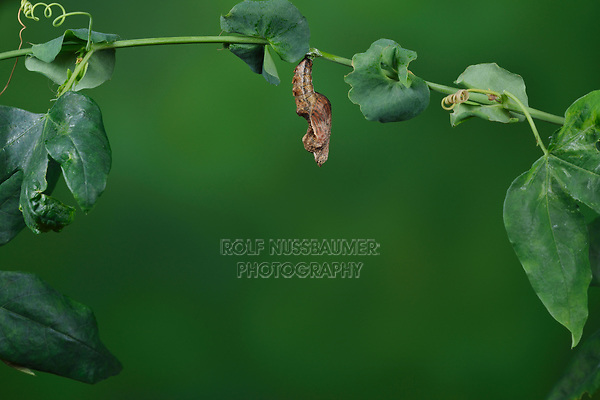 Gulf Fritillary (Agraulis vanillae),  butterfly emerging from chrysalis, series, Hill Country, Central Texas, USA