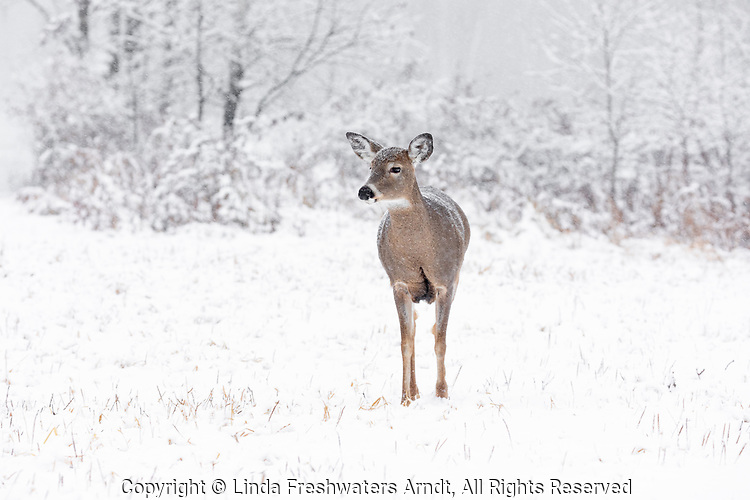White-tailed doe during a winter storm.