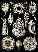 Calcispongiae (Calcareous sponge), by Ernst Haeckel, 1904
