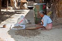 Myanmar, Burma. Woman Sorting Peanuts from Ground Debris in Village near Bagan.
