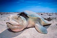 Kemp's ridley sea turtle, Lepidochelys kempii, laying eggs on beach, Rancho Nuevo, Mexico, Gulf of Mexico, Caribbean Sea, Atlantic Ocean