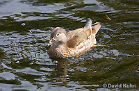 0310-1017  Female Mandarin Duck, Aix galericulata  © David Kuhn/Dwight Kuhn Photography.