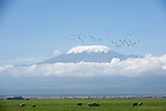 Parc national d Amboseli. Elephants au pied du Kilimandjaro. Kenya. Pelicans dans le ciel