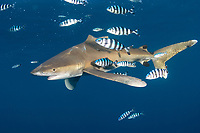 Oceanic whitetip; Carcharhinus longimanus; Mozambique Channel; Indian Ocean; Top of dorsal fin missing- possible human imapact?