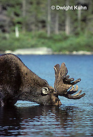 MS01-002z  Moose - bull (male) feeding at Sandy Stream Pond in Baxter State Park, Maine - Alces alces