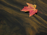 """Driftwood and Maple Leaf""<br />