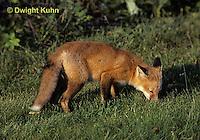 FX03-003z  Red Fox - several months old - Vulpes vulpes