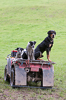 Sheep Dogs, near Masterton, Wairarapa region, North Island, New Zealand.  The large dog is the huntaway dog, driving the sheep away into the fields.   Smaller dogs are the header dogs, driving the sheep into flocks, then home.