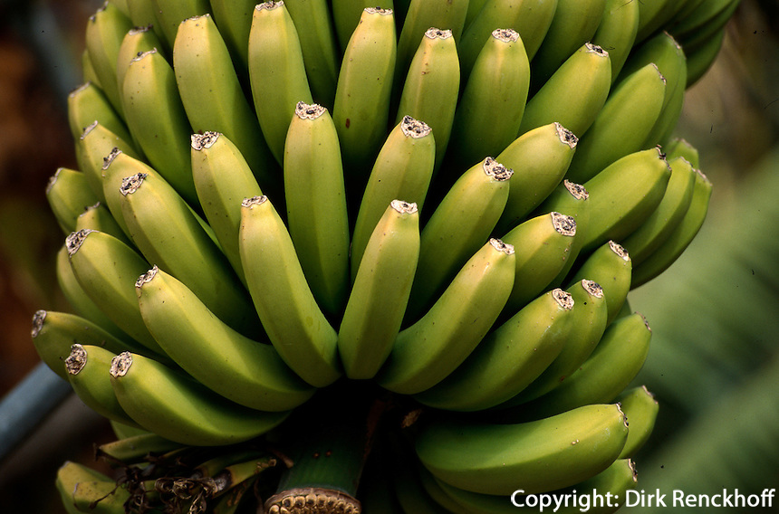 Spanien, Kanarische Inseln, La Palma, La Palma, Aridane-Tal, Bananenstaude