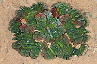 Haworthie, Haworthia truncata, Horse's teeth