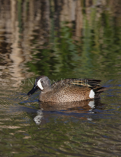 a drake blue winged teal on a creek in western Montana