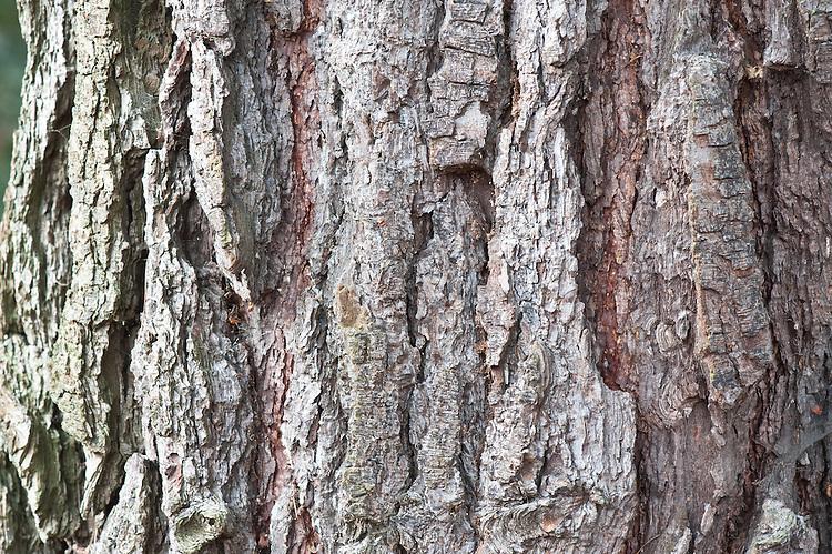 Trunk and bark of Monterey pine (Pinus radiata).