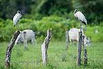 Wood Storks (Myceteria americana) on fence post in marsh / swamp grasslands. Hato La Aurora Reserve, Los Llanos, Colombia.