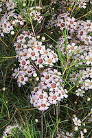 New Zealand Tea Tree Leptospermum scoparium Snow Flurry in summer white & lavender blooms with needle-like leaves