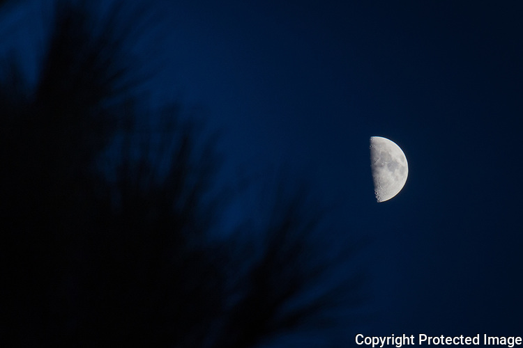 The First Quarter Moon, December 2018, hovers well out of reach of the needles of a tree along the San Francisco Bay shoreline at the San Leandro Marina Park.