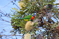 Rainbow Lorikeet intoxicated, Yuragir NP, NSW, Australia