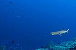 Black tip shark mouth open, Tubbataha, Philippines