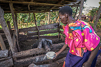 Uganda, Mpigi. Allan Makayenga has no electricty in her home so she uses the solar light products. Allan makes a living as a farmer, here she's feeding her pigs and cleaning thier cages.