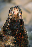 Northern fur seal, St. George Island, Alaska