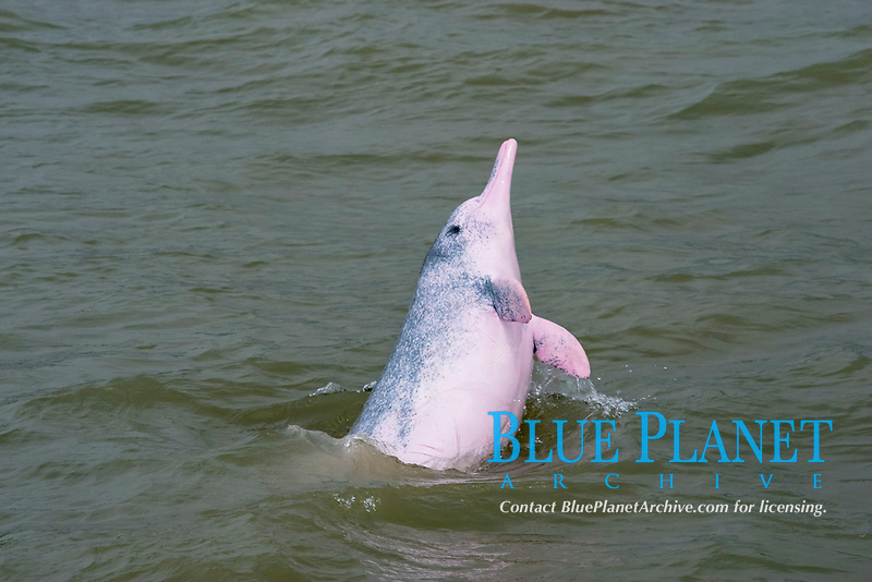 Chinese white dolphin, Sousa chinensis, a subspecies of Indo-Pacific humpback dolphin, adult, breaching, Hong Kong, China, Pearl River Delta, South China Sea, Pacific Ocean