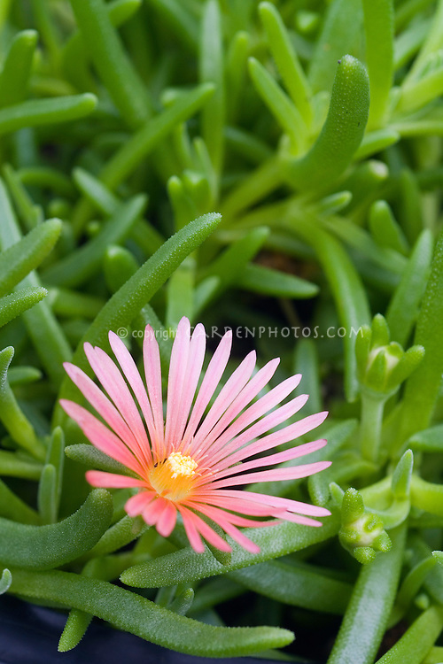 Delosperma Mesa Verde Iceplant in salmon-pink flower with succulent green foliage