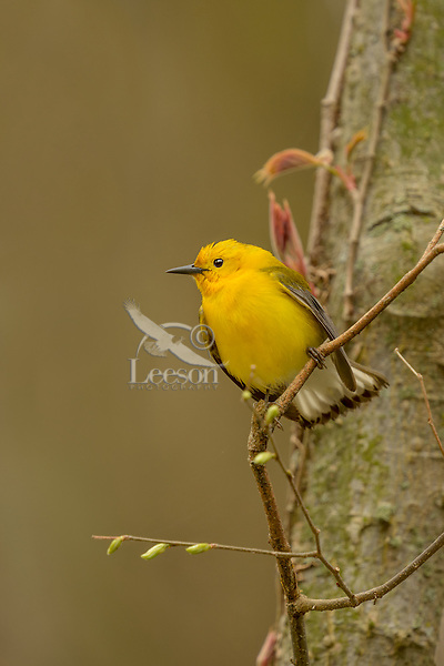 Male Prothonotary Warbler (Protonotaria citrea) in maple tree which is just leafing out.  Great Lakes Region, May.