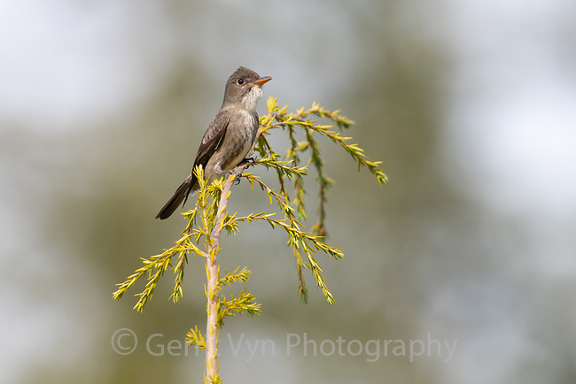 Olive-sided Flycatcher (Contopus cooperi). Oregon.
