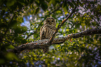 Barred Owl perched in a Birch tree in the Dix Mountain Wilderness Area in the Adirondack Mountains in New York State