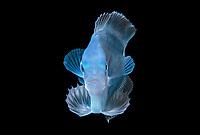 portrait of a free swimming Driftfish, Nomeidae.  Blackwater dive off Palm Beach, Florida.  Atlantic Ocean.