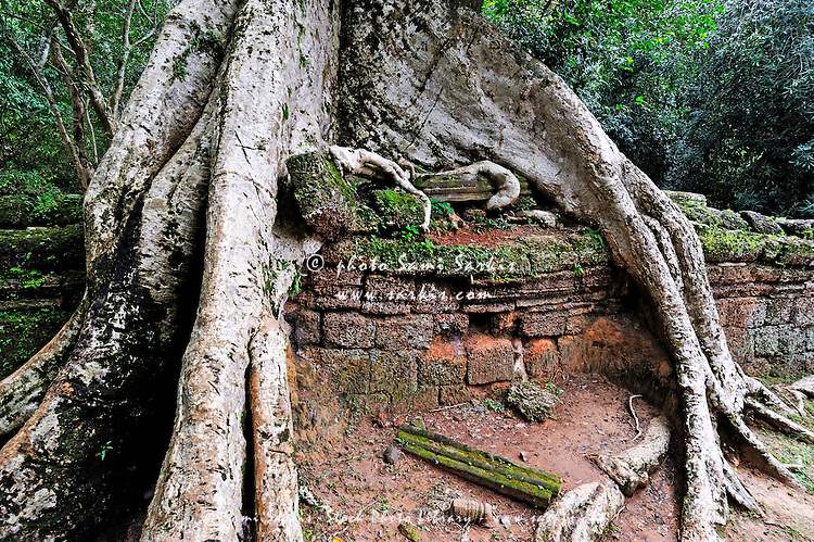 Strangler fig (Ficus sp.) tree roots on ruins, Ta Prohm Temple, Angkor Wat, Siem Reap, Cambodia