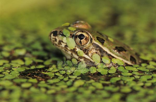 Rio Grande Leopard Frog, Rana berlandieri, adult in duckweed camouflaged, Lake Corpus Christi, Texas, USA, May 2003