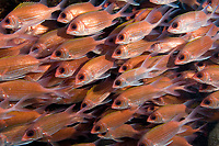 School of squirrelfish at Double Wreck, Statia (St. Eustatius), Caribbean.