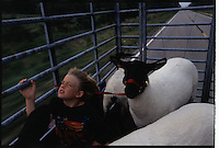 After washing his sheep, a young boy rides with them in the truck for a the 4-H Judging at the County Fair. The route from his rural home on a farm leads down the National Road.