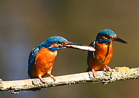 Eisvogel, mit Fisch, Fischchen als Beute, Eis-Vogel, Eisvögel, Alcedo atthis, Kingfisher, Martin-pêcheur d'Europe