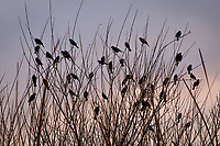 A cluster, or merl, of Red-winged blackbirds gathers in the leaf-bare limbs of a tree next to a pond in a neighborhood park on a late winter afternoon.