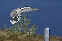 Gyr Falcon preparing to land - C1