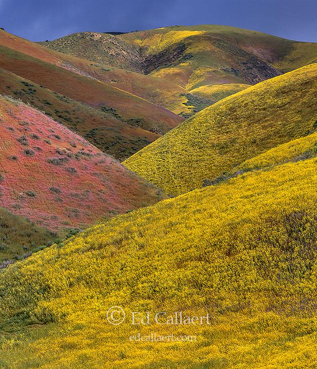 Wildflowers, Tremblor Range, Carizzo Plain National Monument, San Luis Obispo County, California