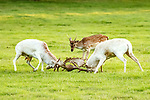 MAIN PICS: A young deer looks as if it is judging a battle between two bucks as it watches them lock antlers.  The deer can be seen standing just yards away from the older bucks and closely watched their contest.<br /> <br /> Amateur photographer David Gowing captured these shots of the deer rutting and their spectator at Woburn Estate Deer Park in Bedfordshire.  The retired 63 year old, who lives in nearby Lower Gravenhurst, said the white animals were practising in time for rutting season.  SEE OUR COPY FOR DETAILS.<br /> <br /> Please byline: David Gowing/Solent News<br /> <br /> © David Gowing/Solent News & Photo Agency<br /> UK +44 (0) 2380 458800
