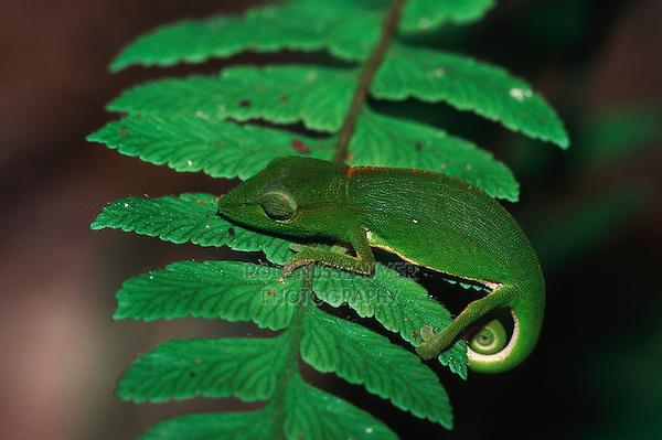 Short-nosed chameleon (Calumma gastrotaenia), adult on fern, Madagascar, Africa