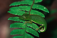 Short-nosed chameleon (Calumma gastrotaenia), adult on fern, Madagascar, Africa